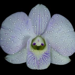 Denphal by Rui Santos - Flowers Single Flower ( amazon, amazônia, stack, abaetetuba, brazil, pará, nature, focus, denphal, natureza, orchid, canon,  )