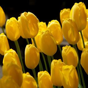 Yellow Fantasy by Muthu Ravi - Nature Up Close Flowers - 2011-2013 ( nature, bushes, beauty, tulips, keukenhof garden, leaves, flowers )
