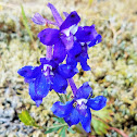 Menzies' Larkspur