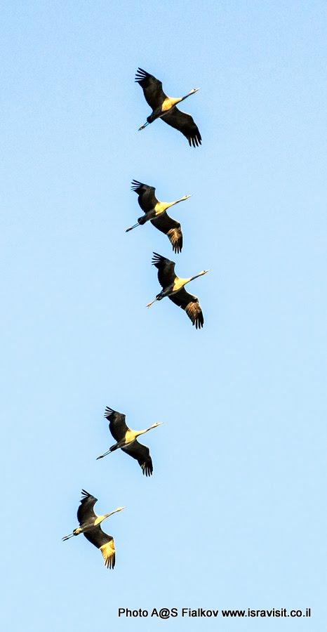 Журавли. Экскурсия в Израиле в птичий заповедник на озеро Агмон Хула.