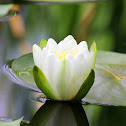 Sweet Water-lily