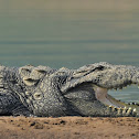 Crocodile  -  Mugger crocodile