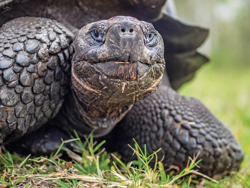Native to seven of the Galápagos Islands, the giant tortoise lives to more than 100 years old in the wild.