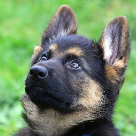 Guess There's A Biscuit! by Chrissie Barrow - Animals - Dogs Puppies ( fluffy, pet, fur, ears, puppy, german shepherd, dog, nose, tan, black, portrait, eyes,  )