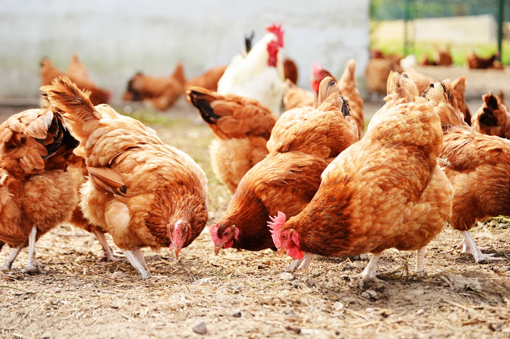 New 'head of eggs' says organisation is taking bird flu outbreak very seriously