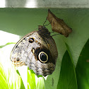 Borboleta Coruja - Owl butterfly