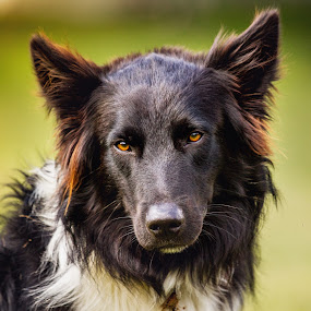 by Susan England - Animals - Dogs Portraits ( sporting dog, herding dog, outdoor, dog, aussie )