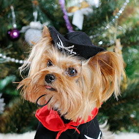 Cute Yorkshire Terrier in front of Christmas tree by Ira Ivanova - Public Holidays Christmas ( studio, expression, breed, furry, tree, decorated, cheerful, animals, xmas, fun, portrait, holiday, december, sitting, winter, season, purebred, adorable, small, festive, naughty, merry, clothing, cap, joy, pup, indoors, cute, looking, santa, yorkshire, happy, fur, gold, hair, animal, pwcholidays, decoration, green, silver, christmas, funny, claus, terrier, two, red, pet, costume, puppy, celebration, dog )