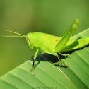 Citrus Locust (Nymph)