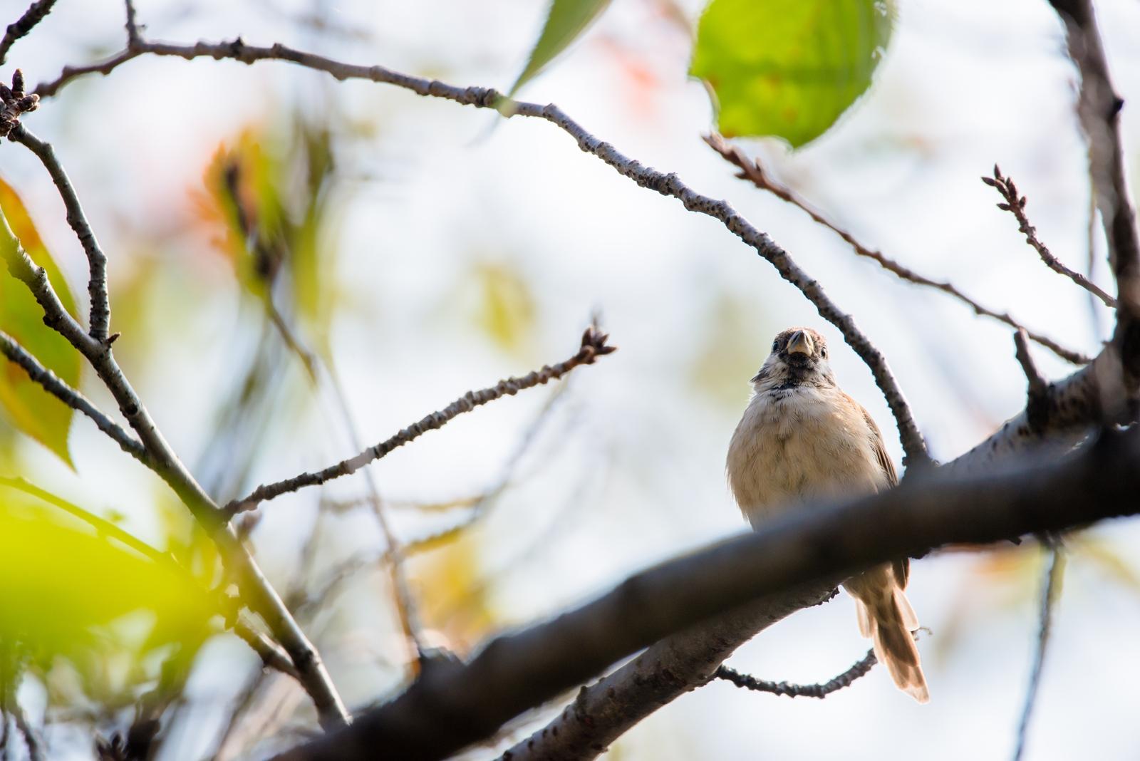 Photo: 小さな瞳に映る Autumn in the small eyes.  初めての秋 少し寂しいかな 葉が一枚また一枚 大丈夫 また戻ってくるよ  Sparrow. (雀)  #birdphotography #birds #cooljapan #kawaii #nikon #sigma #sparrow  Nikon D800E SIGMA 150-600mm F5-6.3 DG OS HSM Contemporary  大塩貴文 写真展『まなざし』 2015年11月20日[金]-29日[日] < http://islandgallery.jp/12134 >