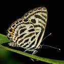 Zebra Blue or Plumbago Blue