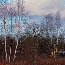 WINTER FOREST by Wojtylak Maria - Landscapes Forests ( sky, winter, colorful, trees, forest )