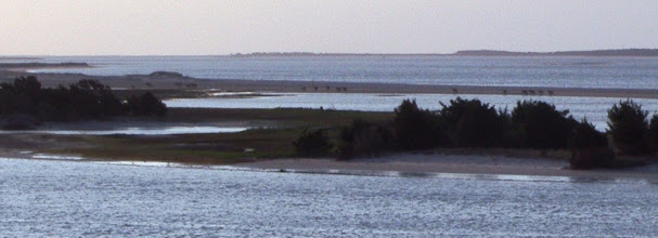 Photo: On this day, about 20 feral horses came over to Bird Shoal for the night. Here you see the harems returning to Town Marsh. There are currently 32 horses on the Rachel Carson Reserve http://beaufortinlet.blogspot.com/p/rachel-carson-reserve-overview.html