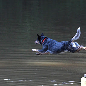 SuperDOG!!!! by Stacey Fields - Animals - Dogs Playing ( dock diving, dog, hazin, jump, river )