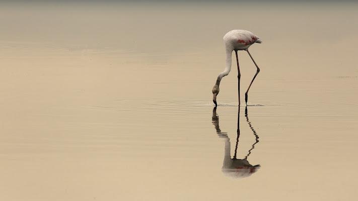 """Lone flamingo"" di Bitop62"