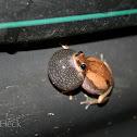 Desert Tree Frog