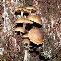 Bonnet fungi