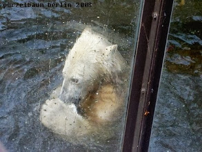 Photo: Eisbaerchen Knut hat Spass im Wasser :-)