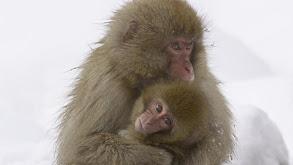 Snow Monkeys thumbnail