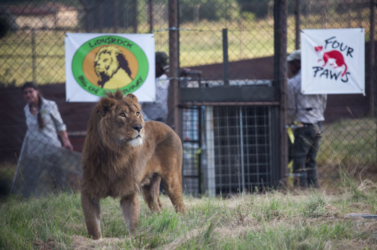 Simba and Saeed are two lions that were saved from starvation, diseases and bombs in Iraq and Syria. They were released at the Lionsrock sanctuary outside Bethlehem.