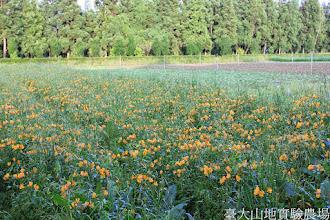 Photo: 拍攝地點: 梅峰-一平臺 拍攝植物: 百合水仙 拍攝日期: 2014_05_27_FY