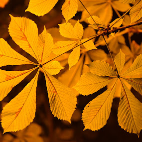 Autumn colors by Carmen-Laura B - Nature Up Close Leaves & Grasses ( chestnut, autumn, outdoor, night, leaves )