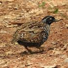 Black-breasted Button-quail