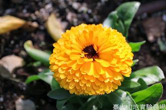Photo: 拍攝地點: 梅峰-溫帶花卉區 拍攝植物: 金盞花 拍攝日期: 2015_01_15_FY