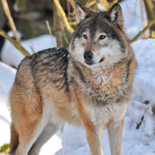 Wolf Videos (app)