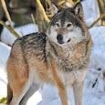Wolf Videos