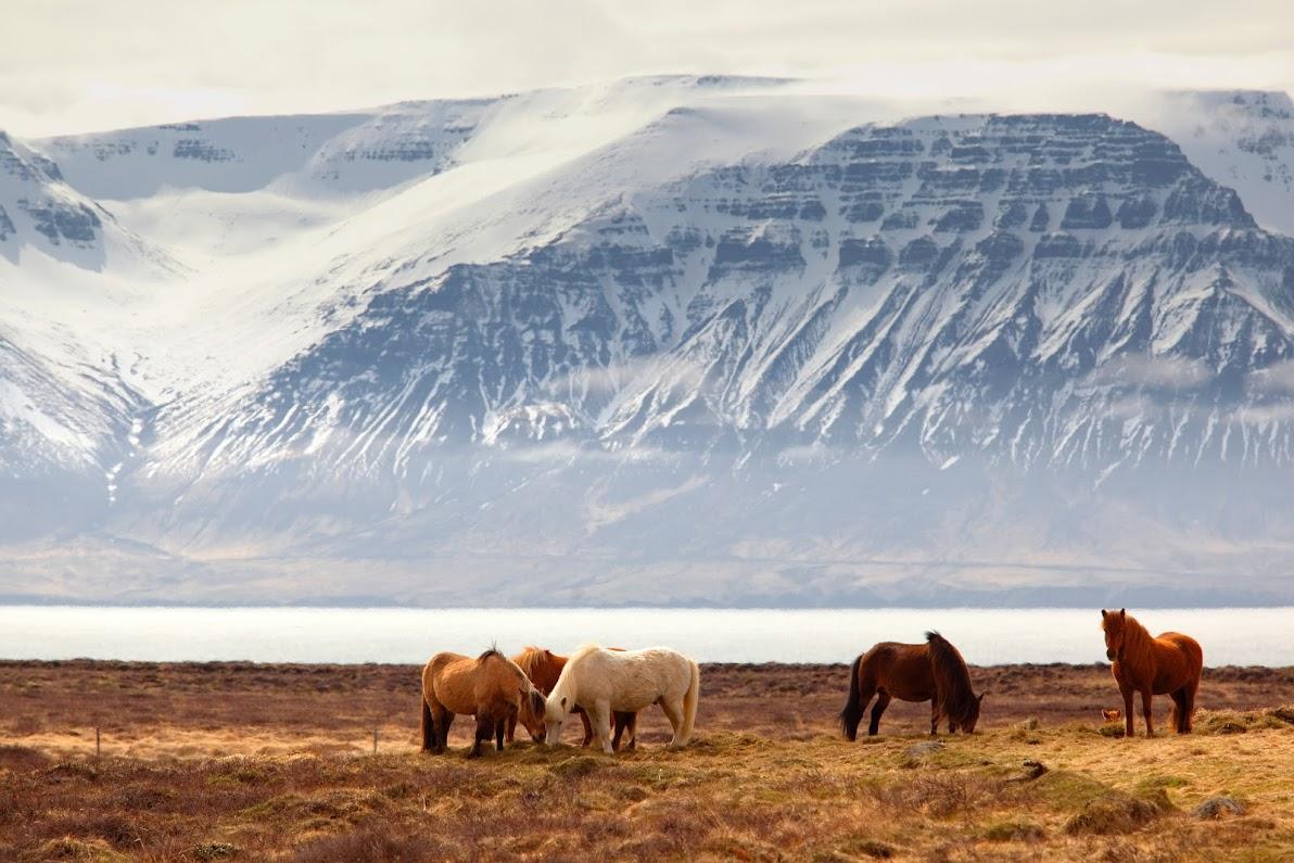 caballos salvajes islandeses