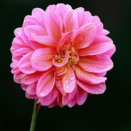 Désordre by Gérard CHATENET - Flowers Single Flower