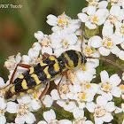 Alfalfa Longhorn Beetle