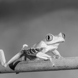 Tree Frog by Garry Chisholm - Black & White Animals ( macro, nature, tree frog, amphibian, garry chisholm )