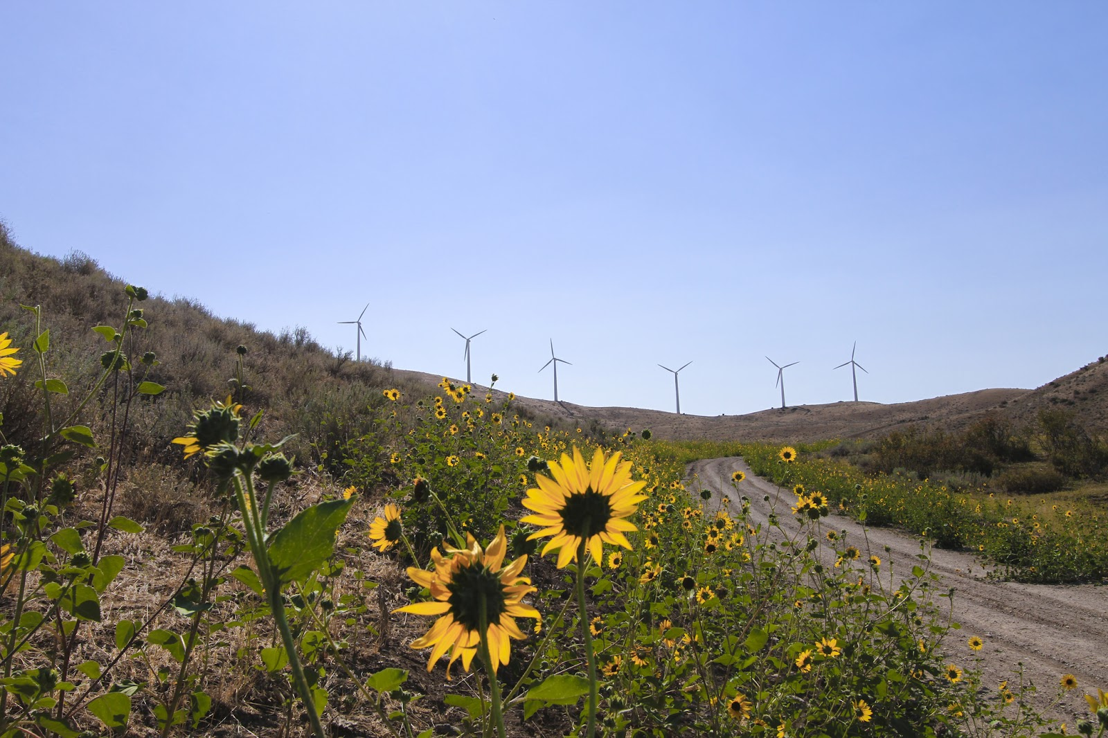 Windmills with sunflowers in the foreground.