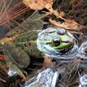 """""""Leopard frog"""""""