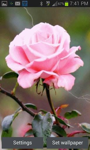 Lighting Pink Rose LWP