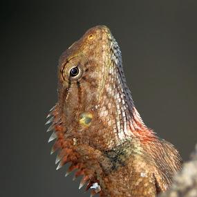 Indian Garden Lizard by Vivek Naik - Animals Other ( indian garden lizard )