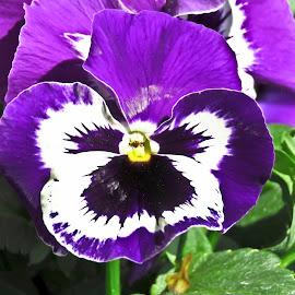 Pancy by Eidel Bock - Flowers Single Flower