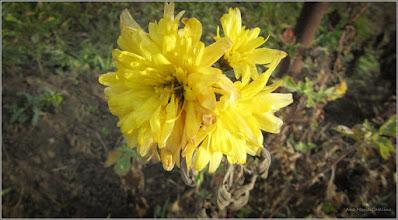 Photo: Crizanteme - de pe Str. Motilor - 2017.12.29