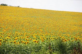 Photo: Day 87 - Sunflowers, Sunflowers, Sunflowers!