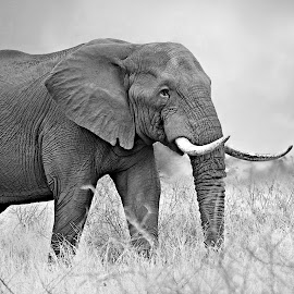 Tusker by Pieter J de Villiers - Black & White Animals ( mammals, animals, kruger national park, elephant bull, elephant, south africa, black & white, tusker, africa )