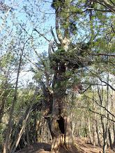 大きなうろのある巨木