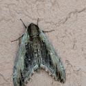 Duponchel's Sphinx Moth