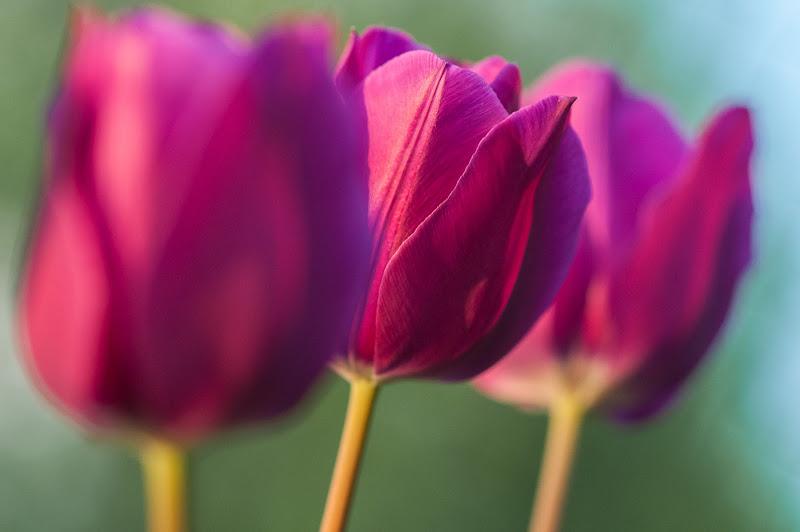 Tulipani di gmb3