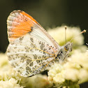 Stella Orange Tip