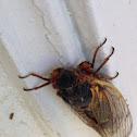 Periodical Cicada (Brood V 2016)