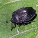 Black Watermelon Bug