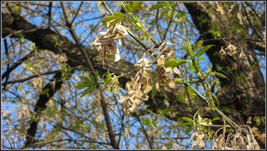 Photo: Arțar, Paltin de munte - (Acer pseudoplatanus) - de pe Calea Victoriei, B16  - 2017.03.27