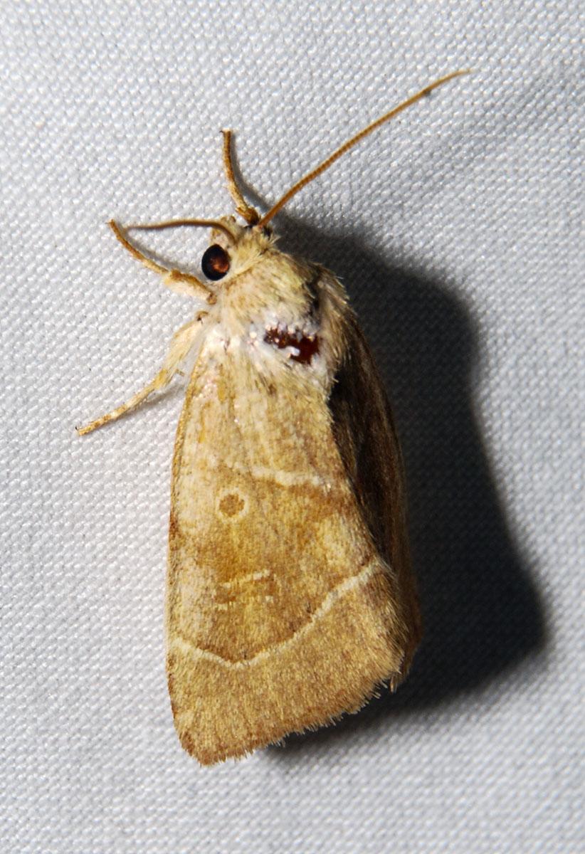 American Dunbar Moth